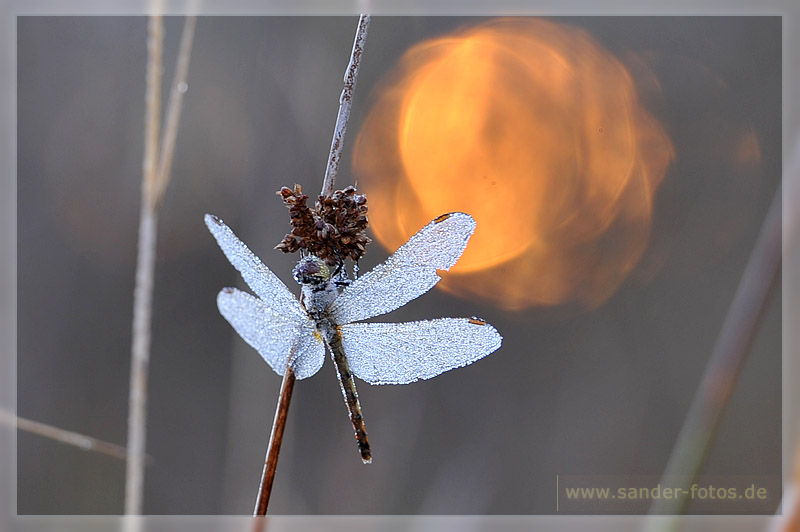 Libelle im Morgentau und wärmender Sonne