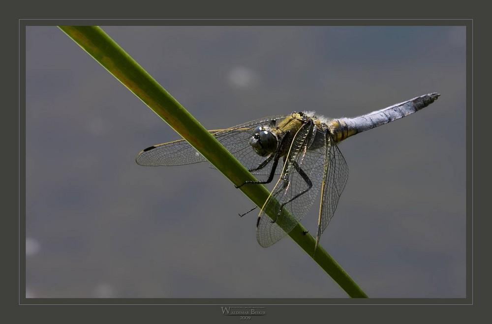 Libelle im Starkwind