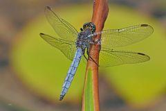 Libelle in blau