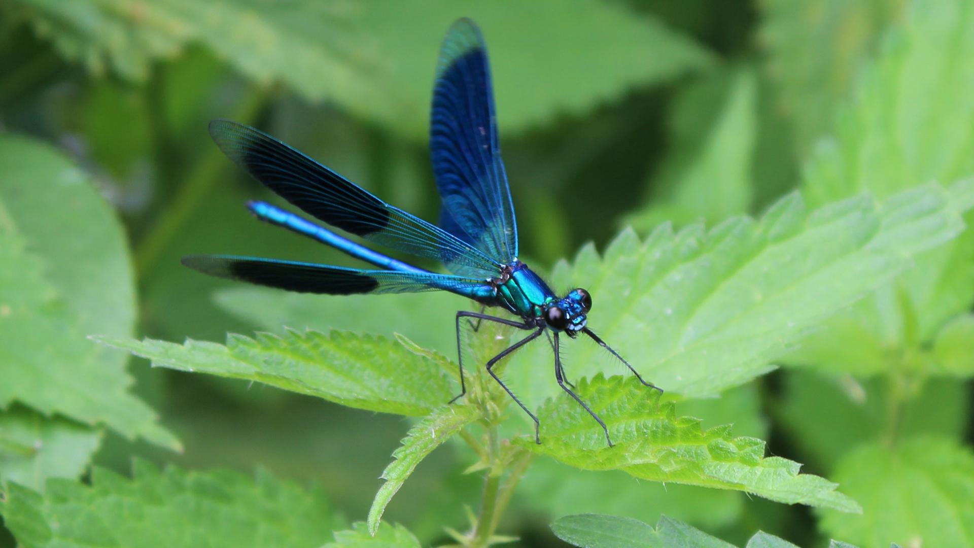 Libelle in Blau-Metallic =)