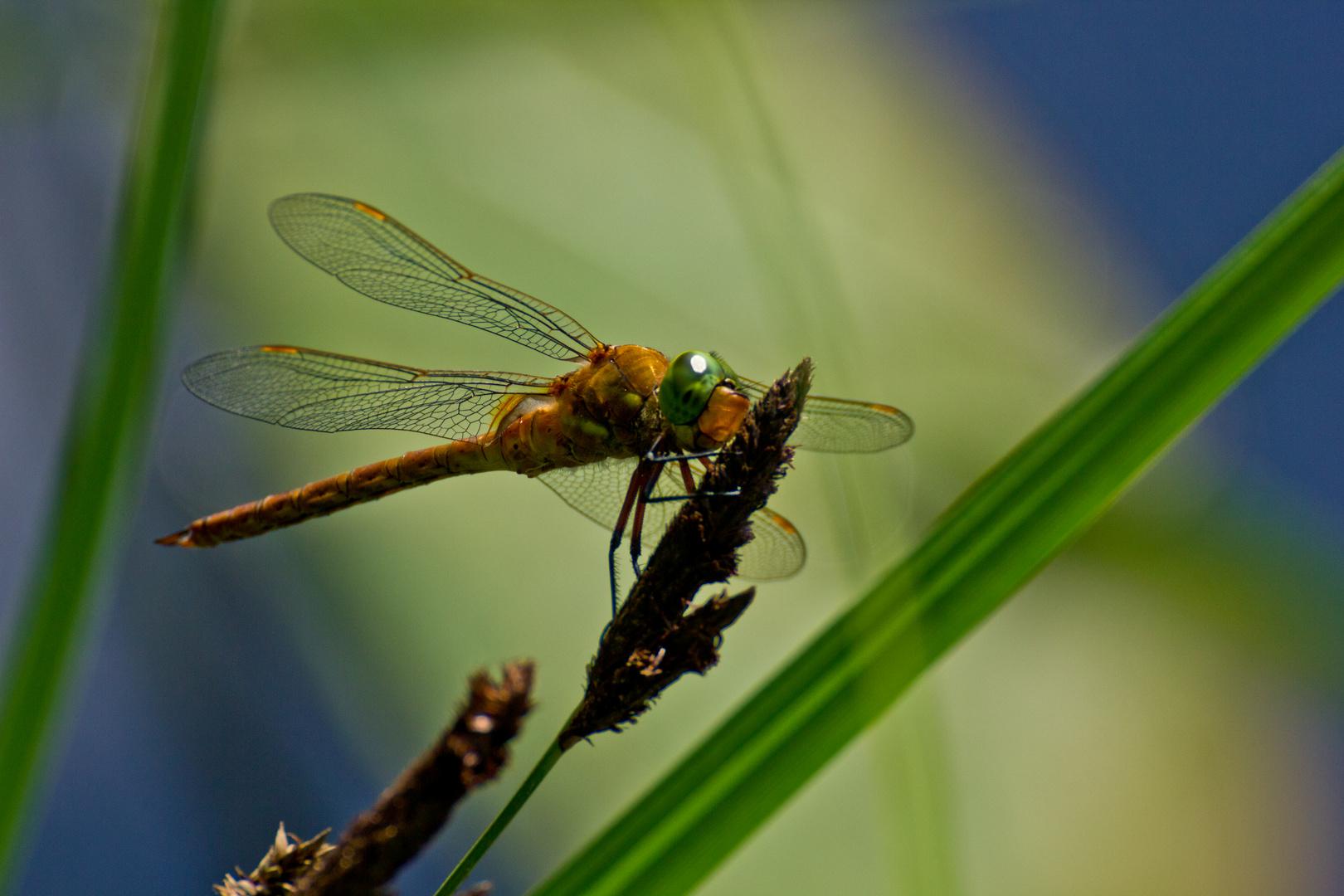Libelle in   Buckow (Märkische Schweiz)