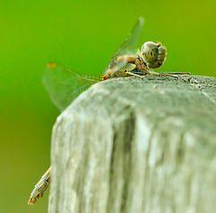 Libelle-in-der-Heide