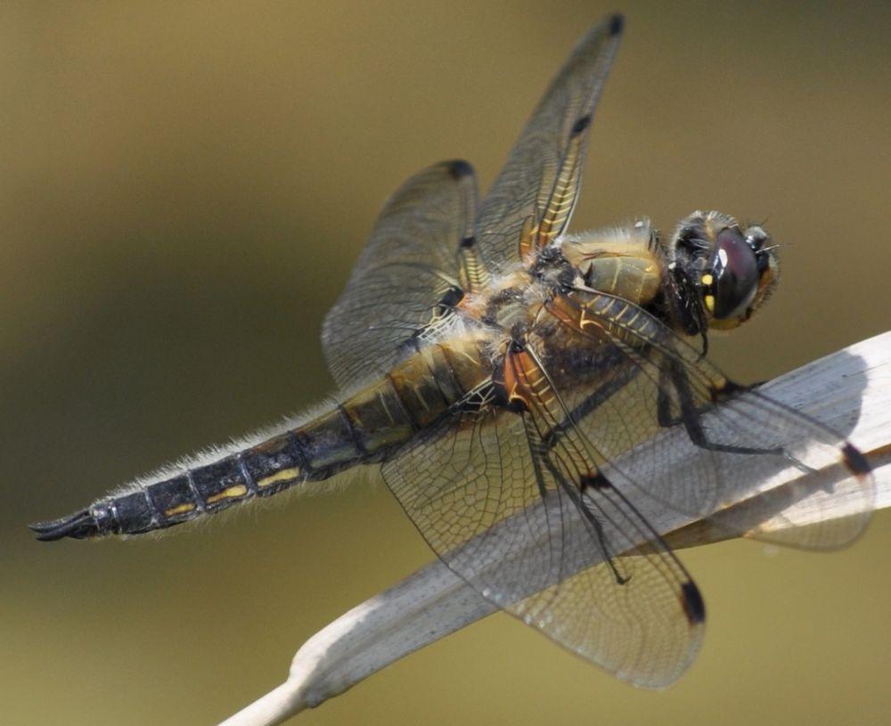 Libelle in der Sonne