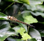 Libelle in der Sonne... -  Herbst-Mosaikjungfer (Aeshna mixta)