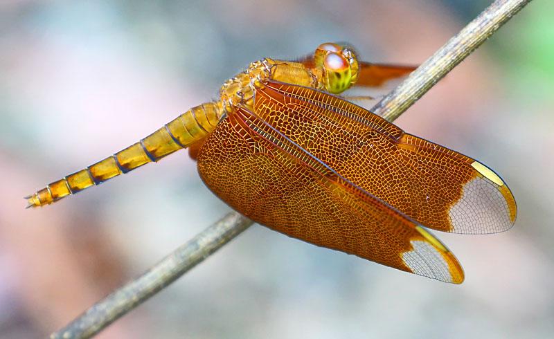 Libelle in Khao Sok (Thailand)
