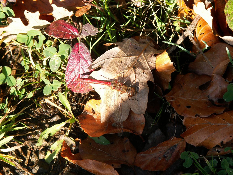Libelle in Nahaufnahme