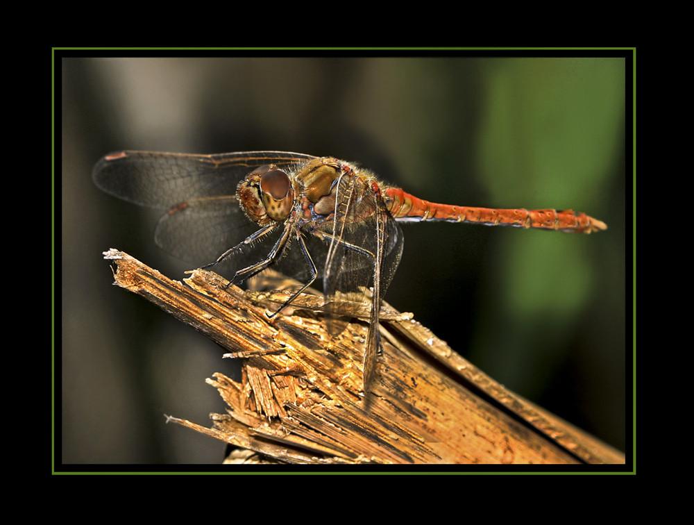 Libelle in Ruhestellung