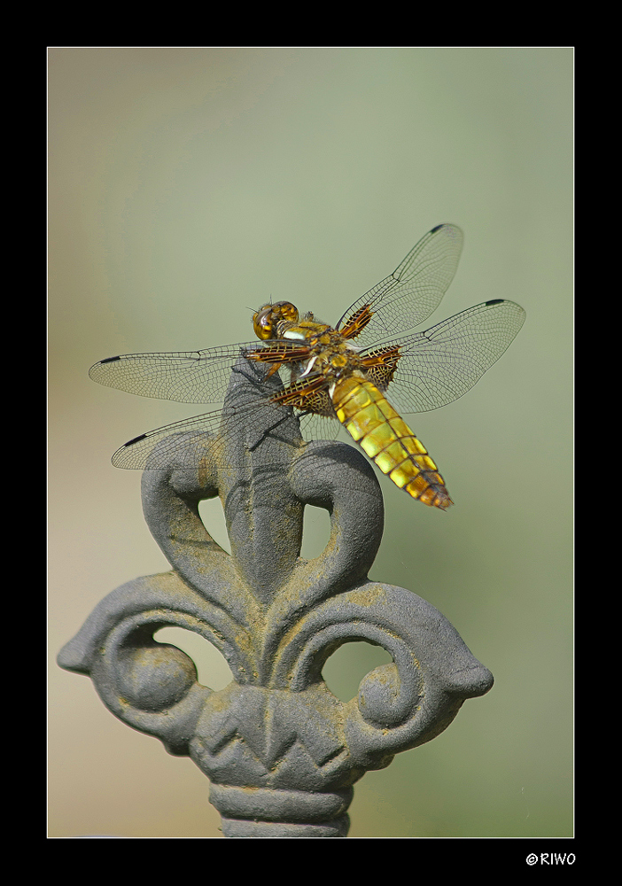 Libelle in unserem Garten......