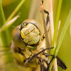 Libelle - komm näher