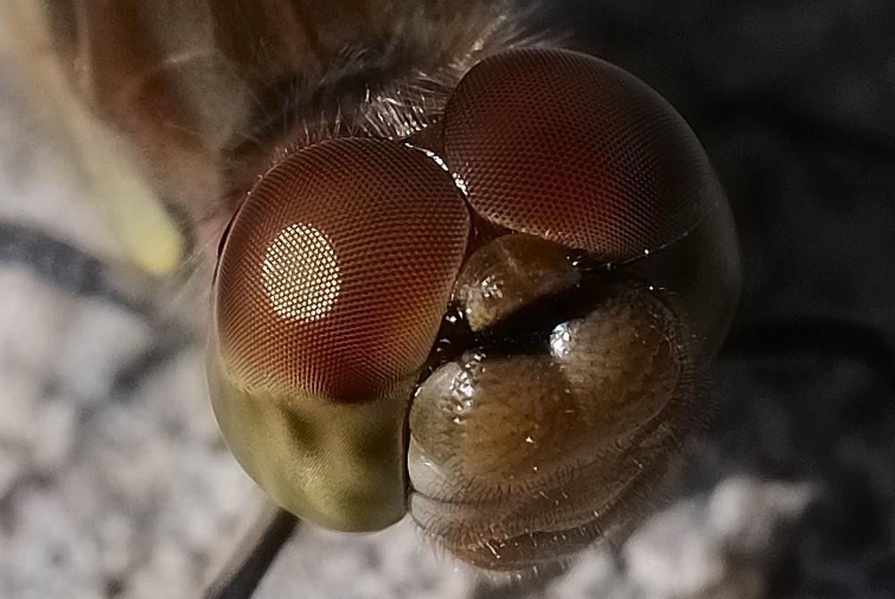 Libelle mit Energiespender im Auge ;-)