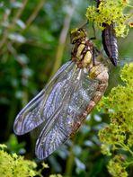 Libelle mit Ihrer Larvenhülle