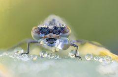 Libelle mit Tauperlen