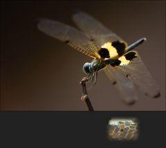 Libelle mit Untermieter