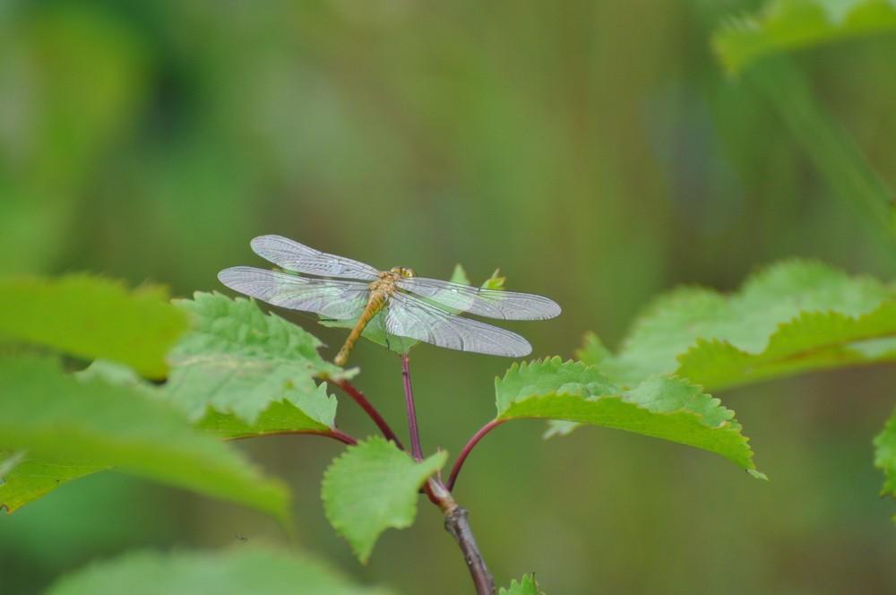 Libelle morgens am Boisdorfer See2