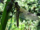 Libelle nach dem Schlüpfen 2