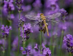 Libelle nach dem  Schlüpfen im Lavendel