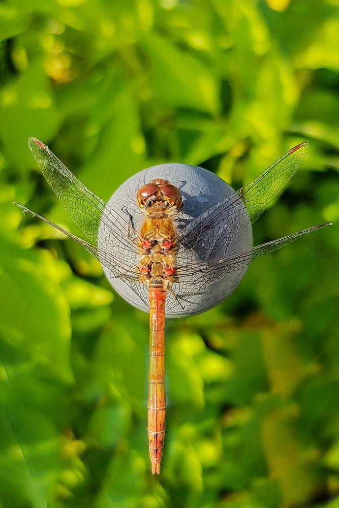 Libelle nimmt ein Sonnenbad