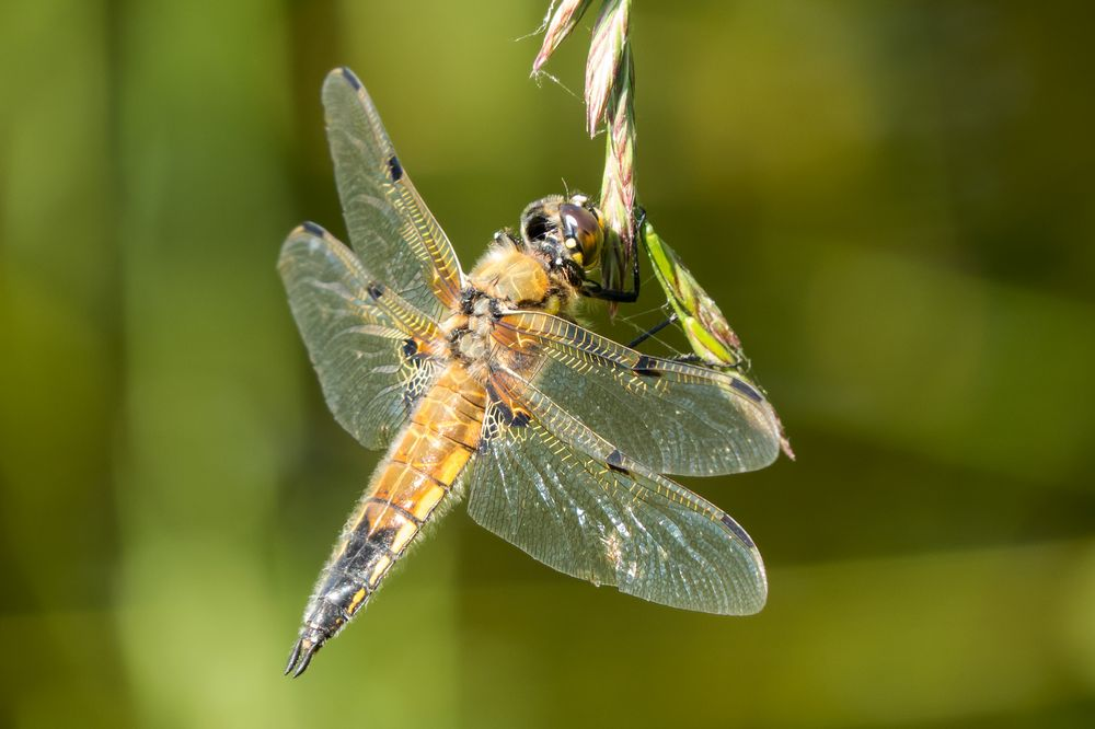 Libelle Nr.2