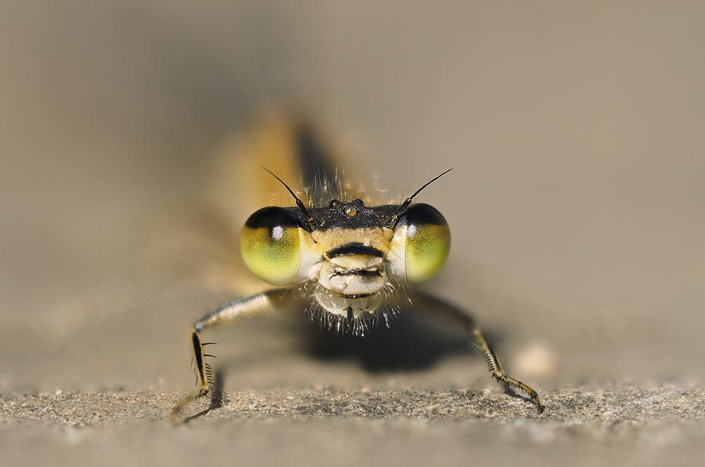 Libelle Portrait
