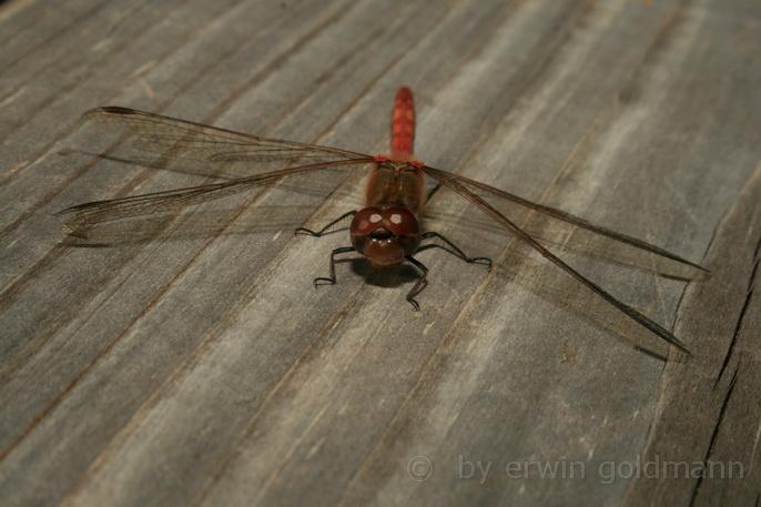 Libelle ruht