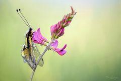 Libelle-Schmetterlingshaft