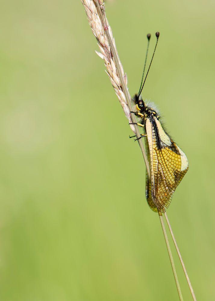 Libelle-Schmetterlingshaft die Zweite