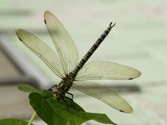 Libelle, soeben gelandet