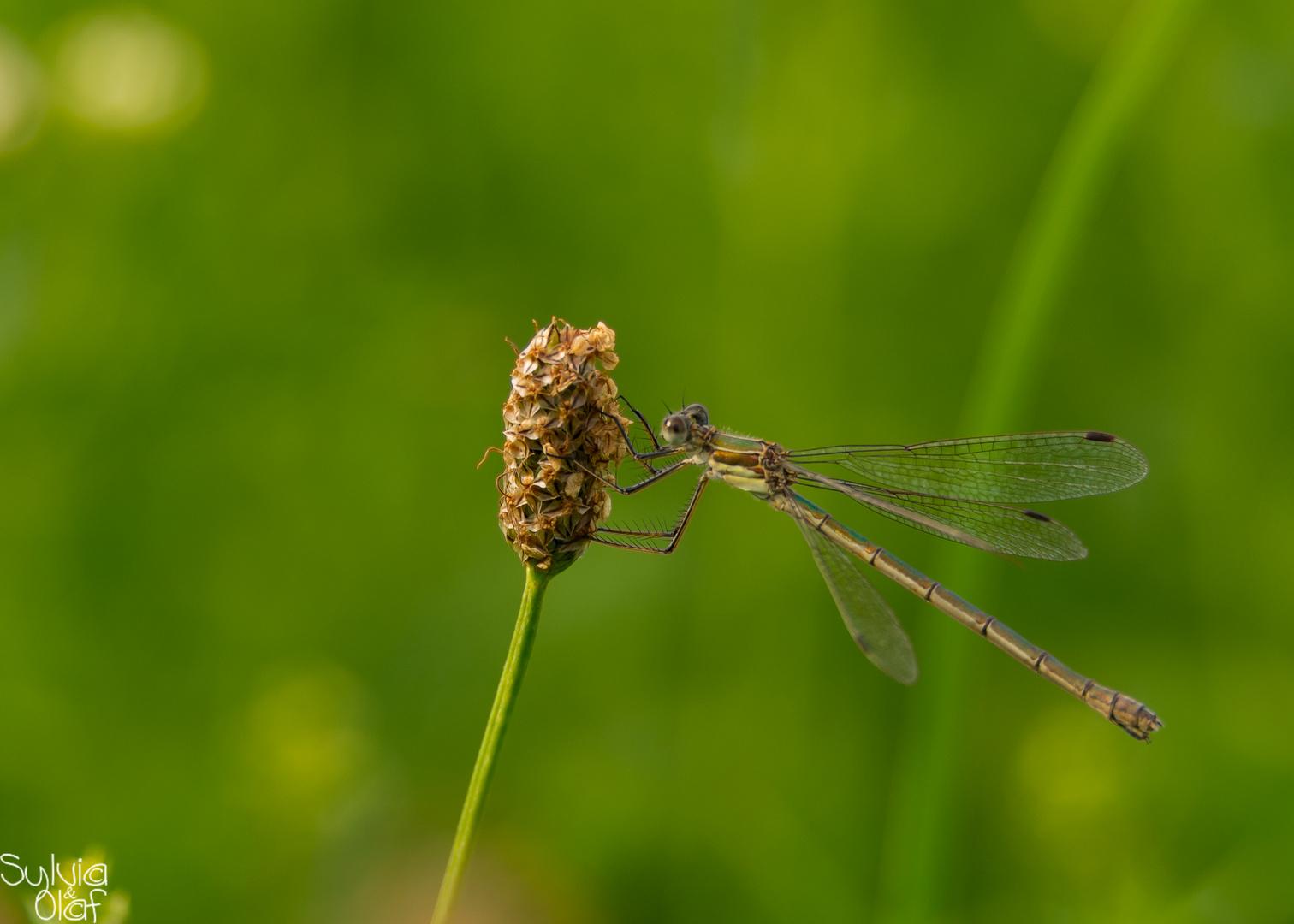 Libelle (Südliche Binsenjungfer) im Wind