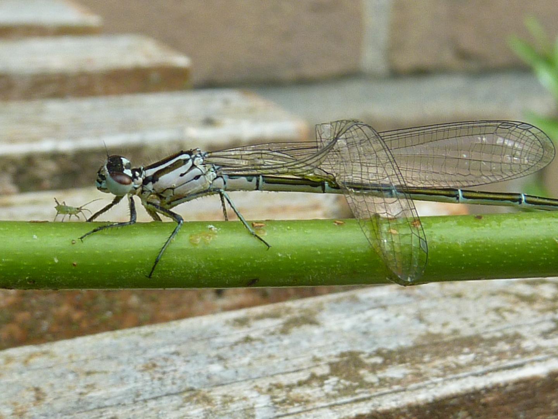 Libelle trifft auf Blattlaus