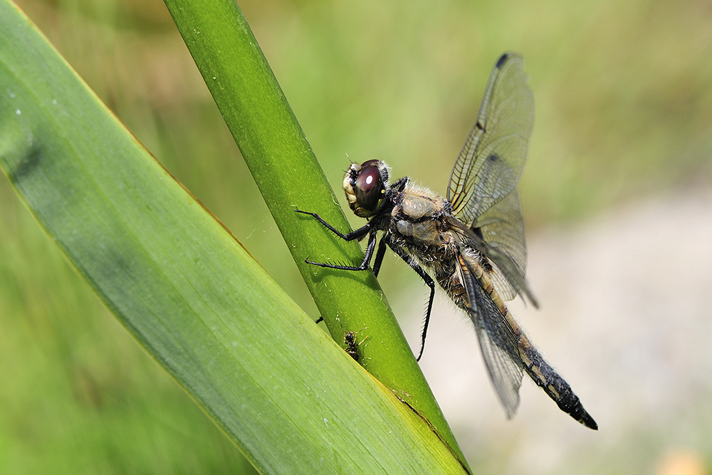 Libelle und Ameise