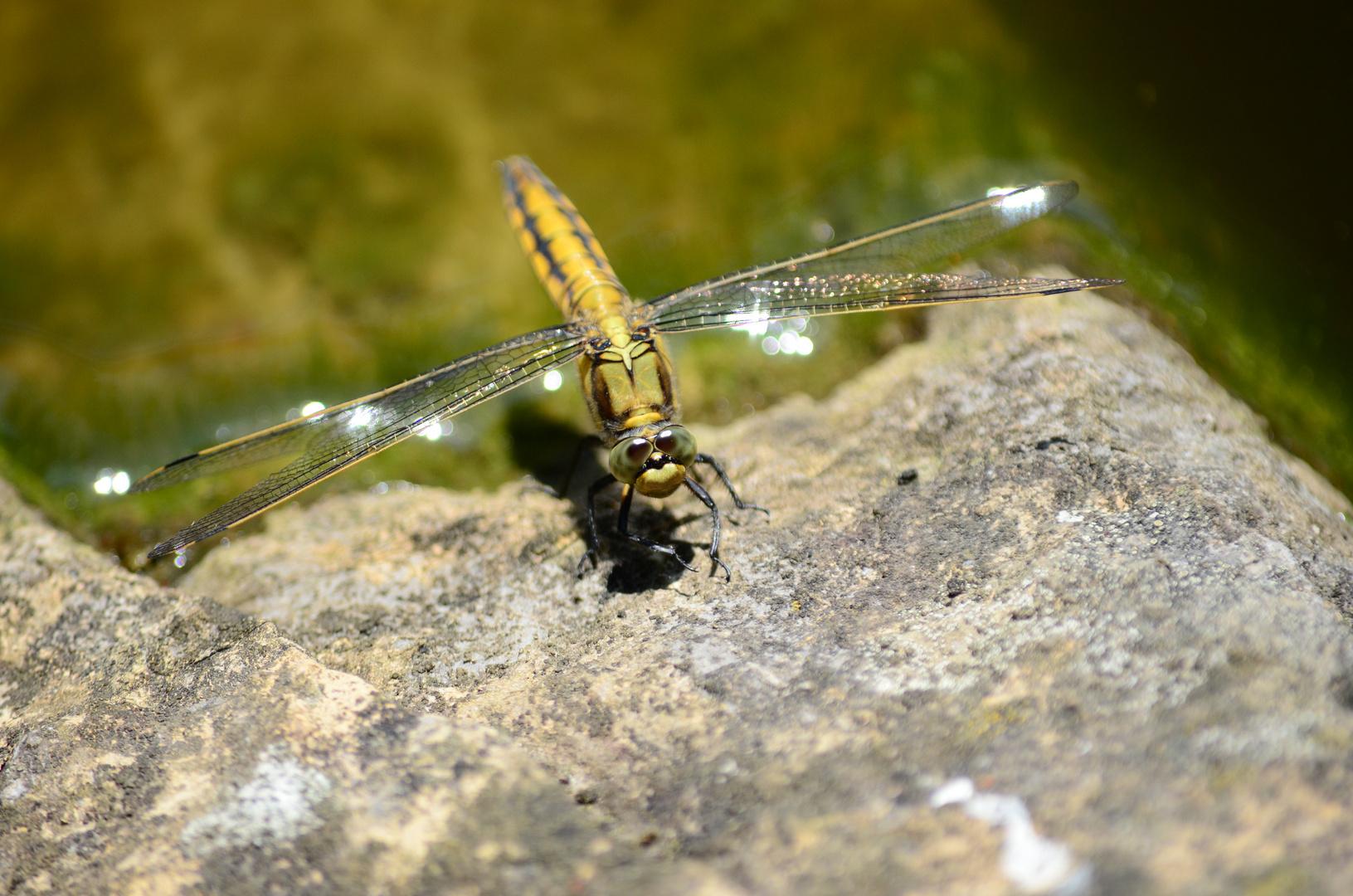 Libelle und Felsen