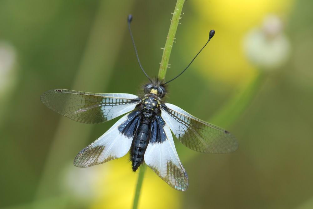 Libelle und zugleich Schmetterling, ein Libellen-Schmetterlingshaft