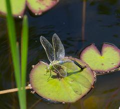 Libelle V