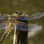 Libelle / Vierfleck