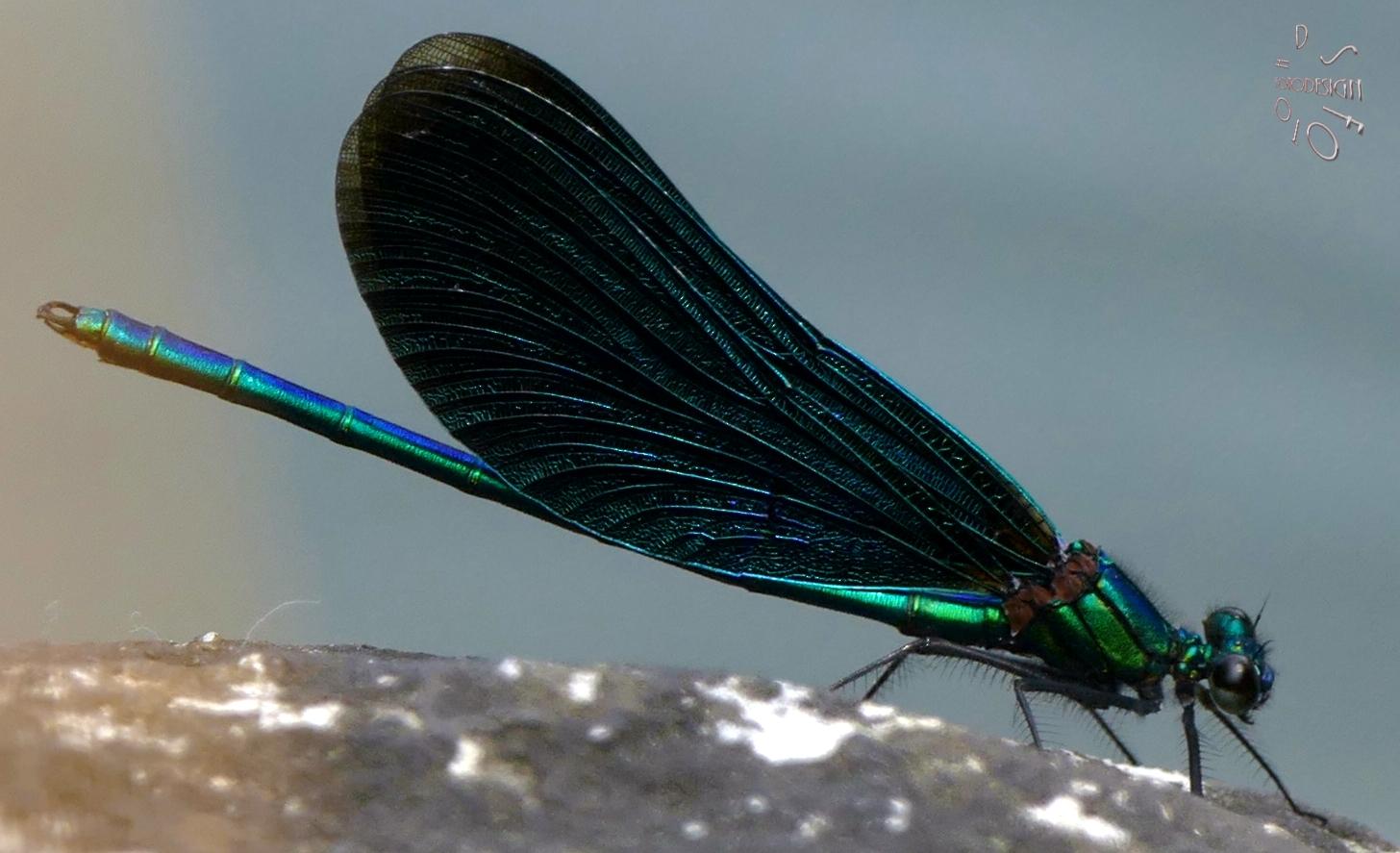 Libelle vom Lochbach