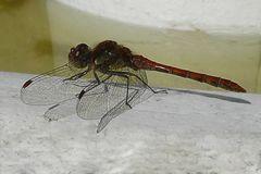 Libelle - vor dem Tod