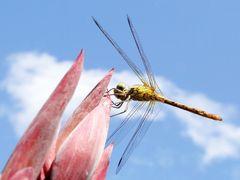 Libelle (Voyeursansicht)