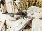Libelle Weißnase.... Kleine Moosjungfer (Leucorrhinia dubia)