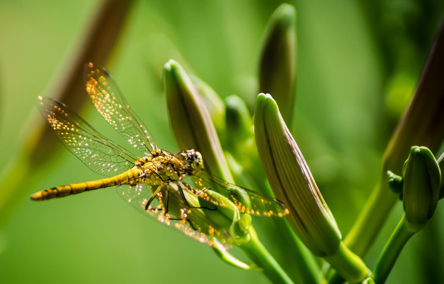 Libellen am Gartenteich - I