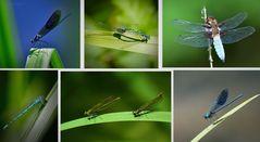 Libellen Collage