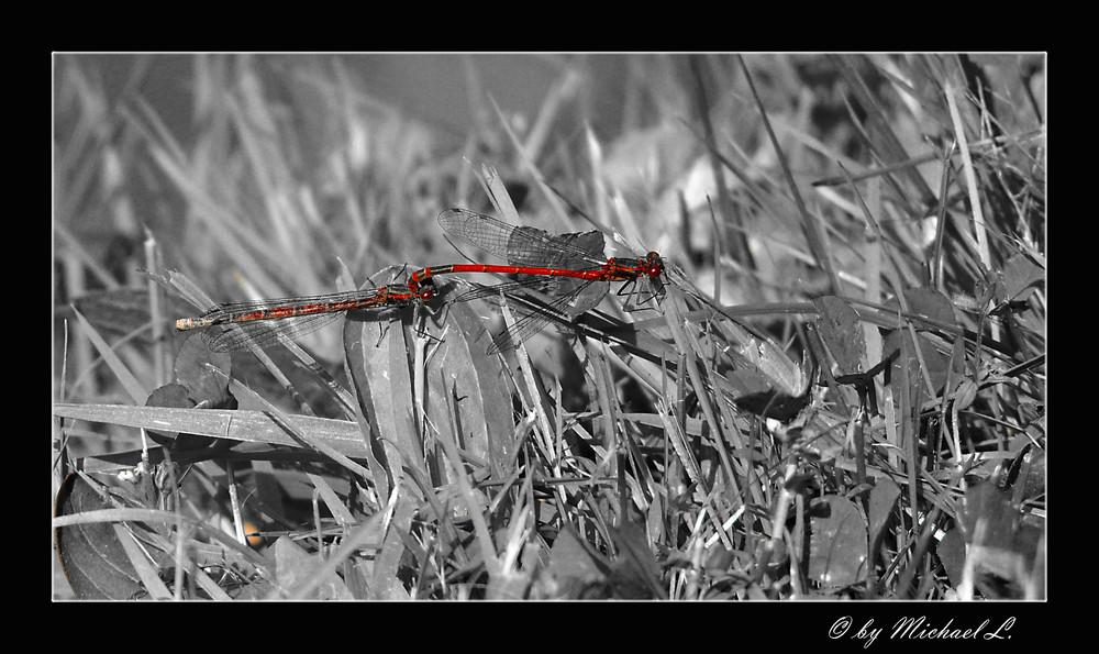 Libellen - Duett