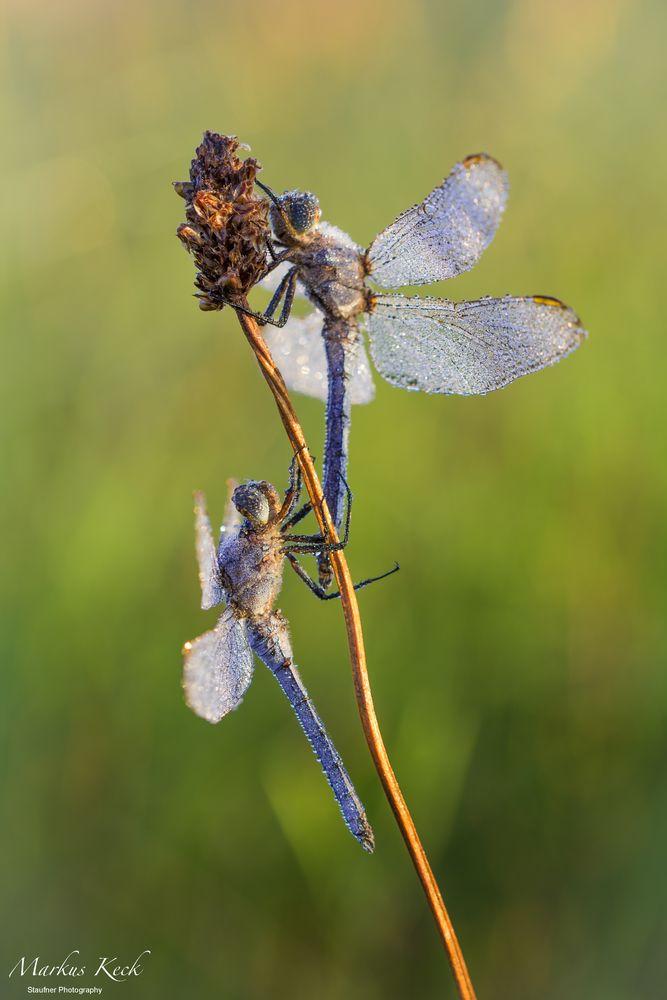 Libellen - Duo im Morgentau