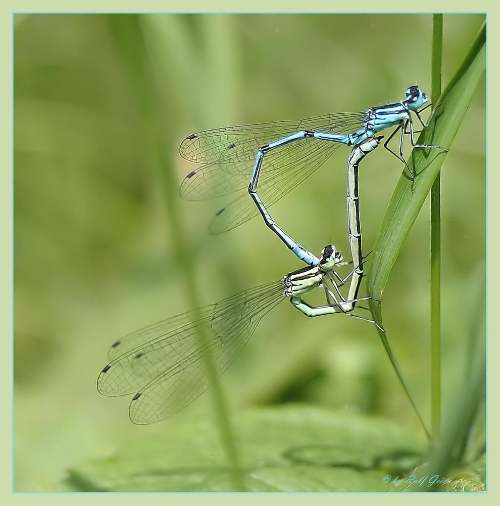 Libellen im Duett