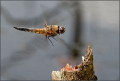 libellen im flug