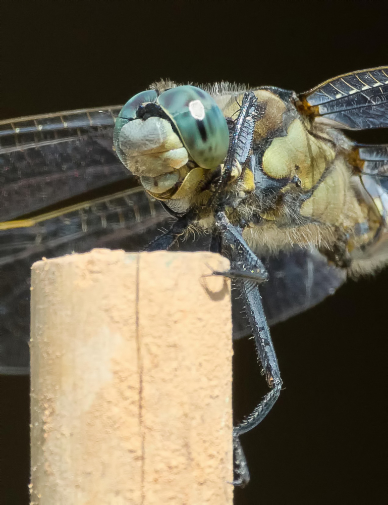 Libellen-Portrait