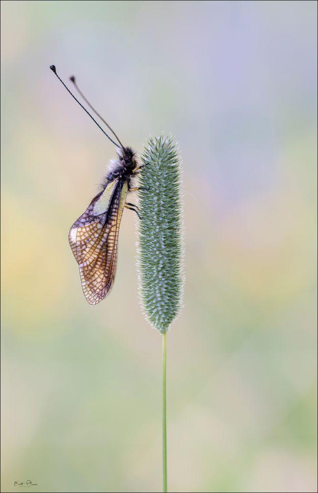 Libellen Schmetterlingshaft