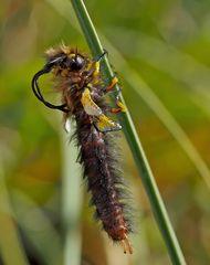 Libellen-Schmetterlingshaft, frisch geschlüpftes Männchen. (1) - Ascalaphe soufré.