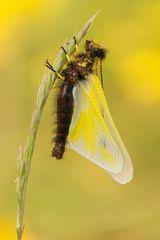 Libellen-Schmetterlingshaft - Libelloides coccajus