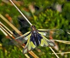Libellen-Schmetterlingshaft (Libelloides coccajus), ein Männchen *