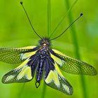 Libellen-Schmetterlingshaft (Libelloides coccajus), ein Männchen. - L'Ascalaphe soufré, un mâle.